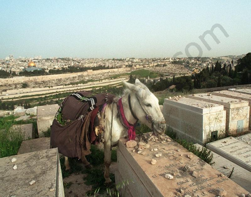 zsidó temető az olajfák hegyén, háttérben Jeruzsálem óvárosa.